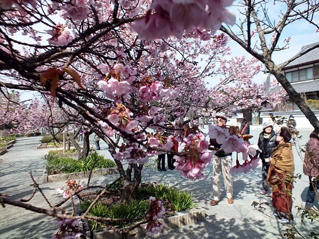 熱海寒緋桜(あたみかんひざくら)(110266 byte)