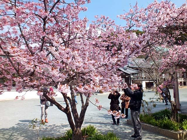 熱海寒緋桜(あたみかんひざくら)(113649 byte)