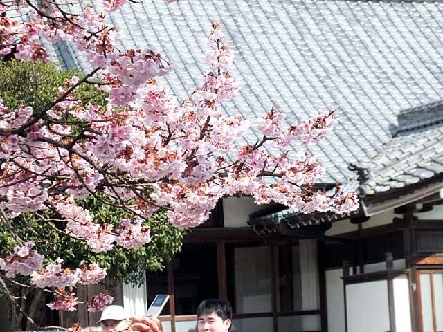 熱海寒緋桜(あたみかんひざくら)(89224 byte)