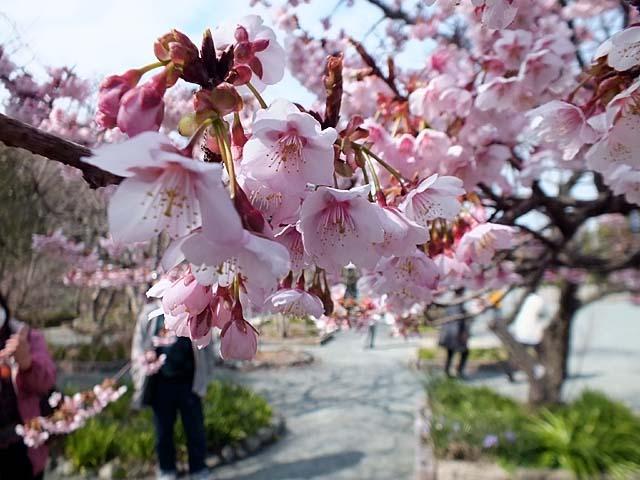 熱海寒緋桜(あたみかんひざくら)(55740 byte)