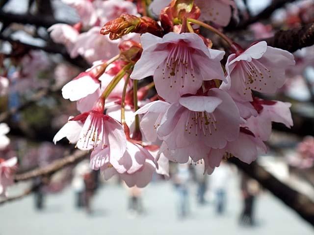 熱海寒緋桜(あたみかんひざくら)(42642 byte)