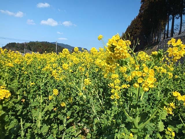 菜の花(97185 byte)