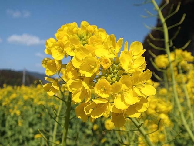 菜の花(44488 byte)