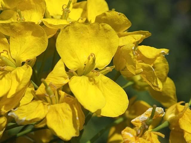 菜の花(40675 byte)
