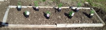 20140312菊の苗 植えました