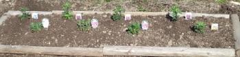 20140312菊の苗 植えました2