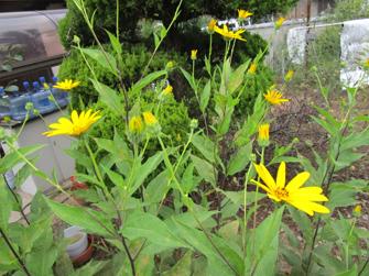 菊芋の花2