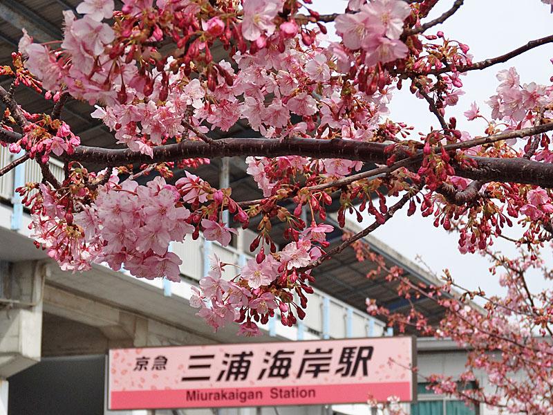 140223三浦海岸河津桜1