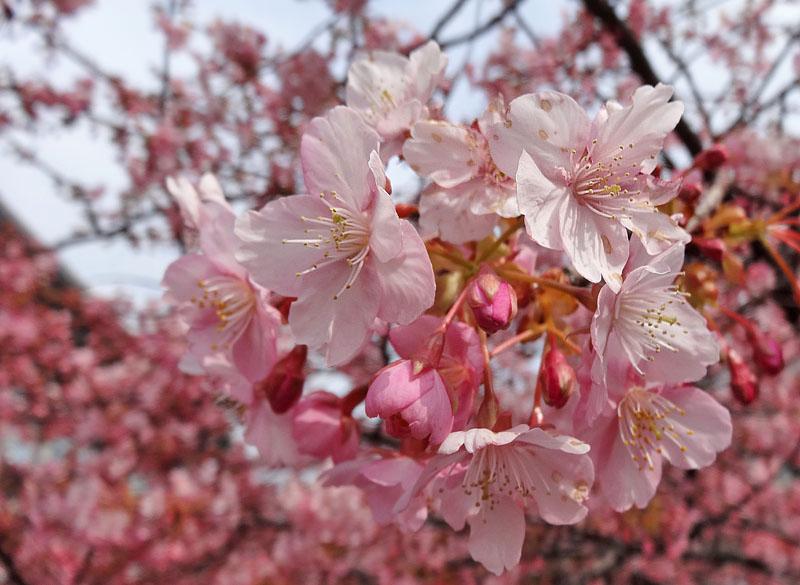 140223三浦海岸河津桜2