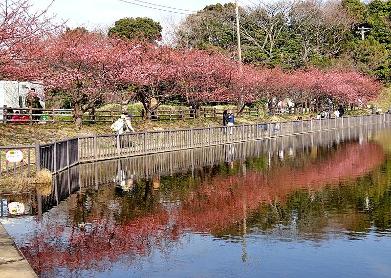 140223三浦海岸河津桜7