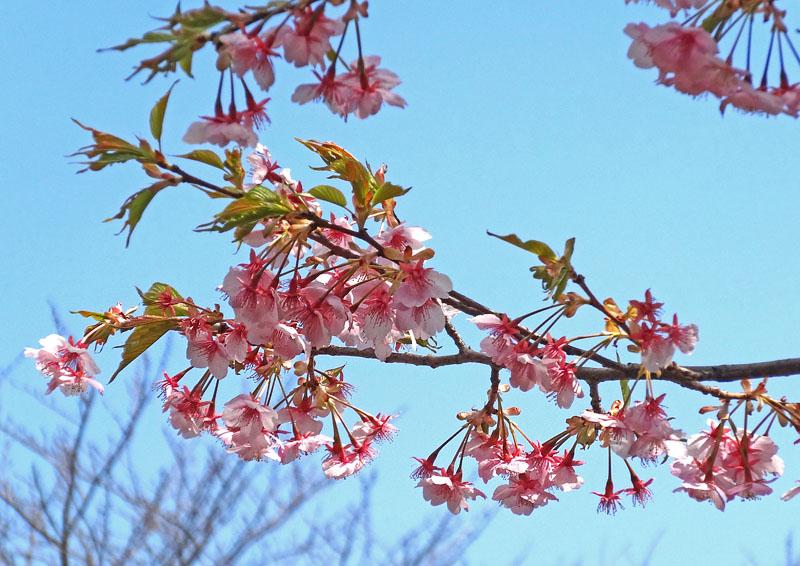 140306春の花たち6