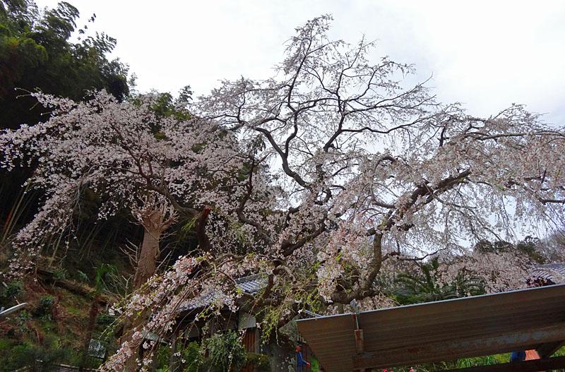 140329等覚寺枝垂れ桜1