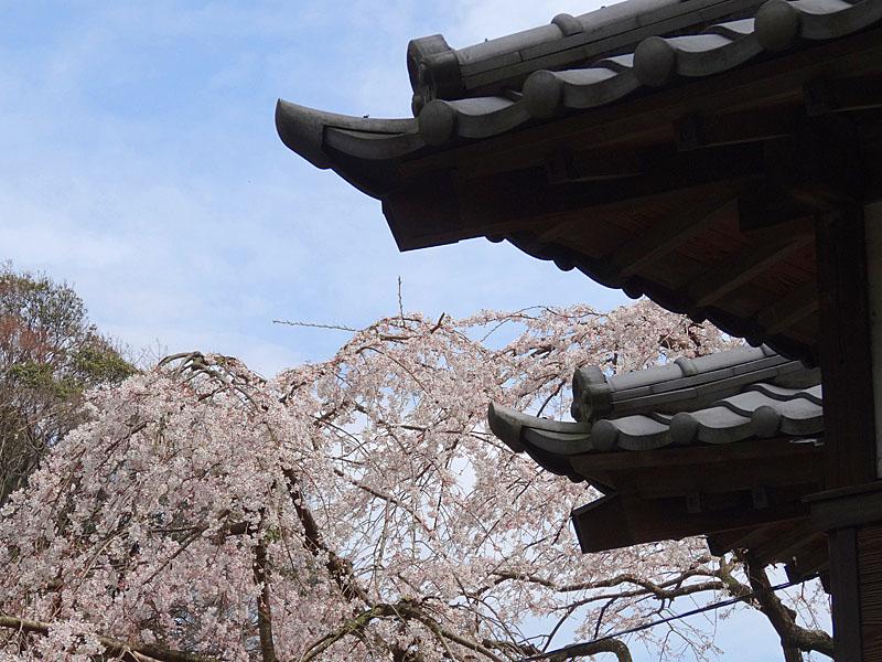 140329等覚寺枝垂れ桜5