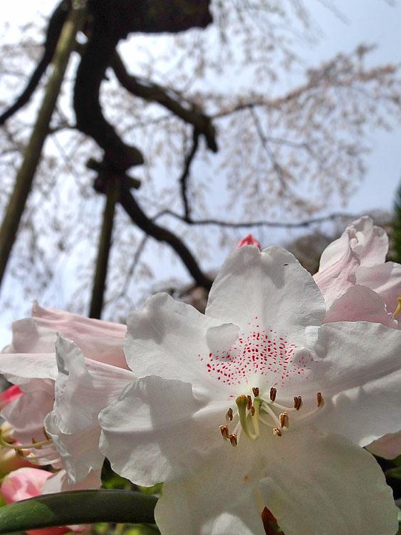 140329等覚寺枝垂れ桜6