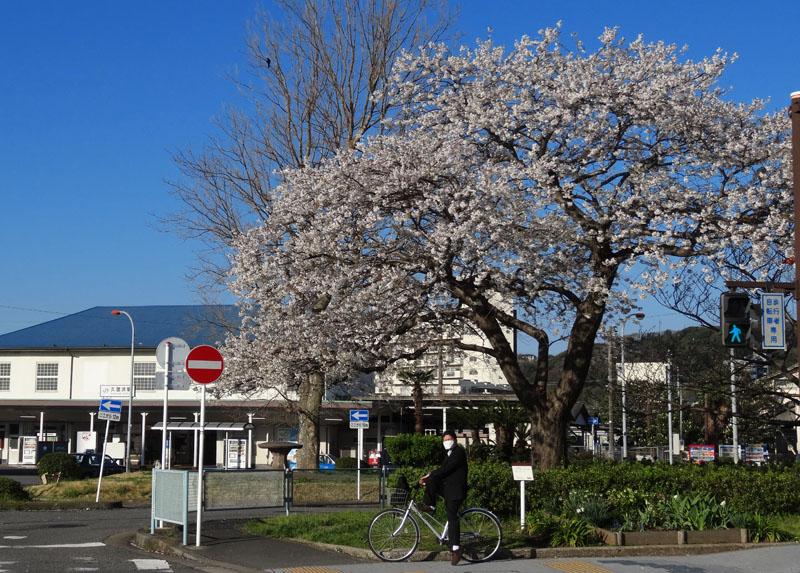 140331JR久里浜駅前の大島桜3
