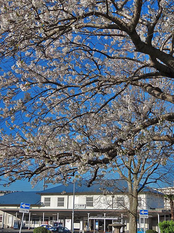 140331JR久里浜駅前の大島桜1