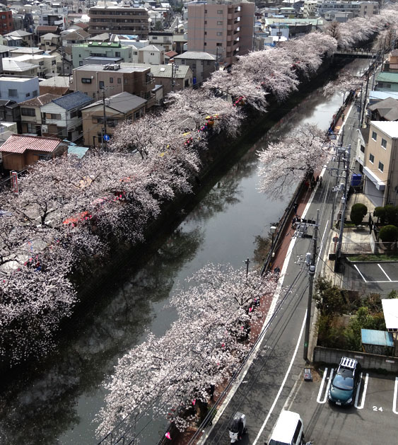 140401大岡川桜並木01