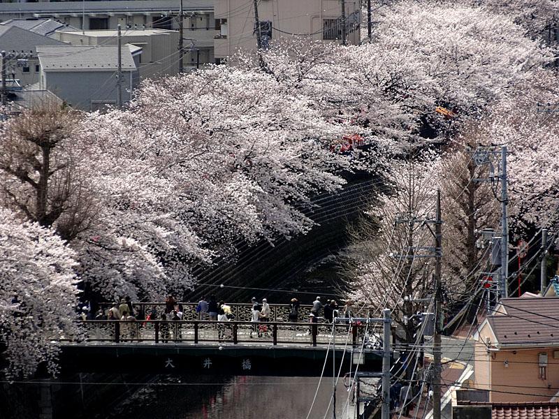 140401大岡川桜並木02