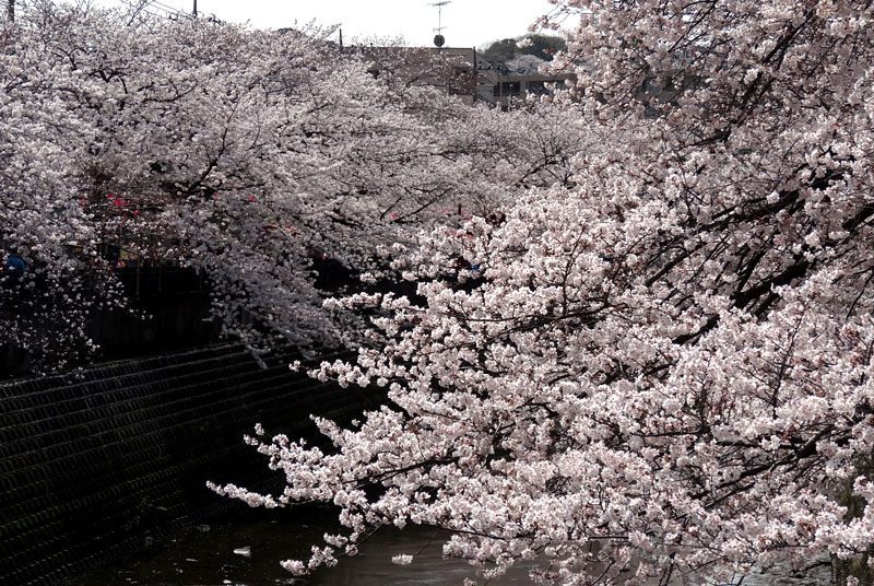 140401大岡川桜並木04