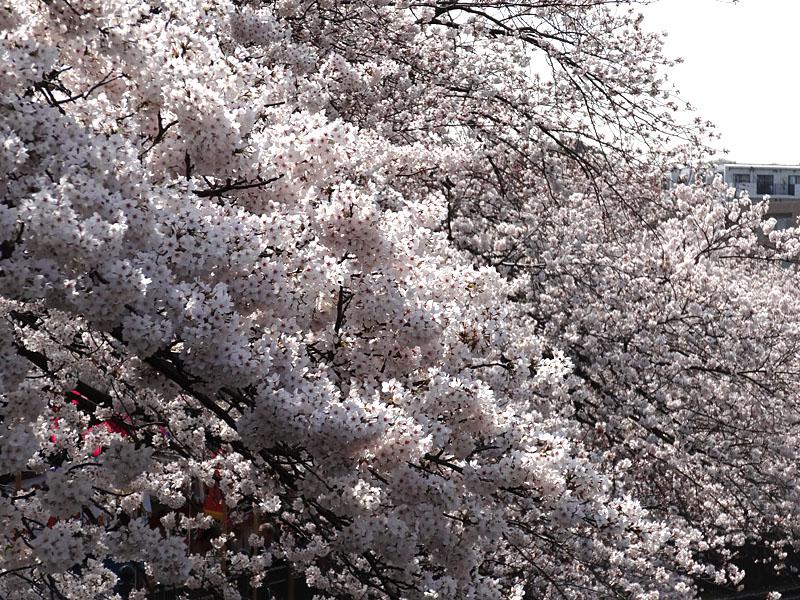 140401大岡川桜並木05