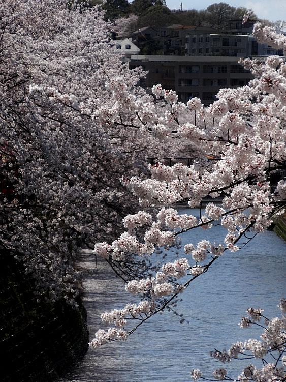 140401大岡川桜並木06