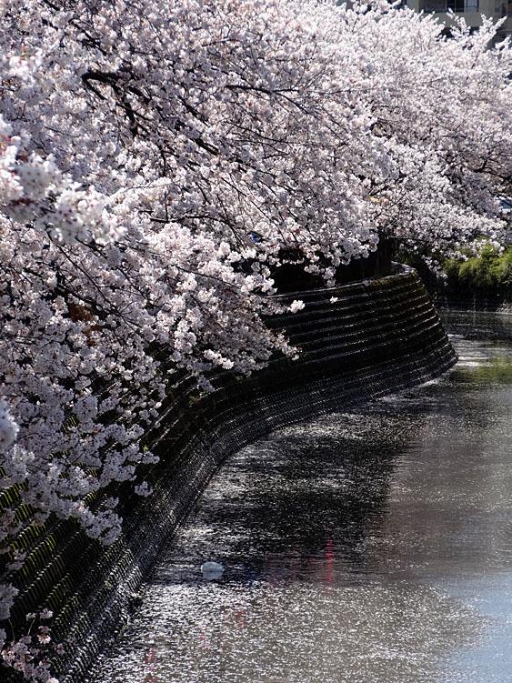 140401大岡川桜並木09