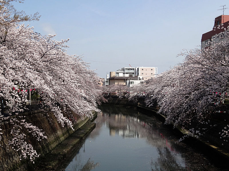 140401大岡川桜並木10