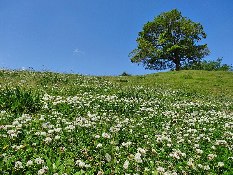 シロツメクサと榎の丘1