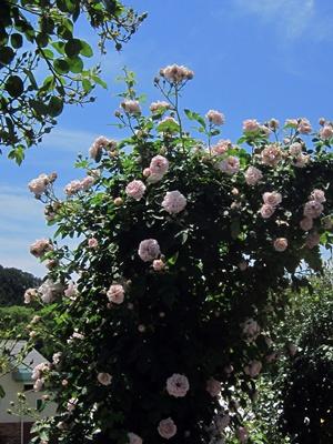 2014_0517薔薇日和0030
