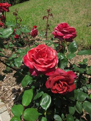 2014_0517薔薇日和0002
