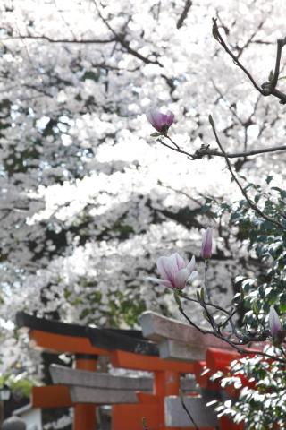 sakuranimakenai_mokuren.jpg
