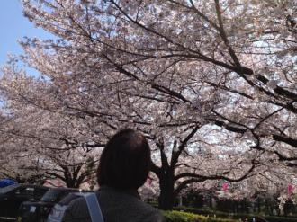 館林の桜①_convert_20140408235611