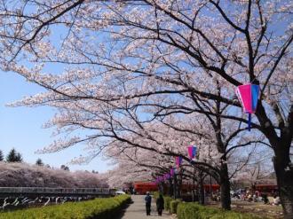 館林の桜⑨_convert_20140409000006