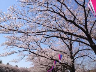 館林の桜⑩_convert_20140409000034