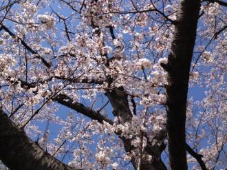館林の桜⑪_convert_20140409000106