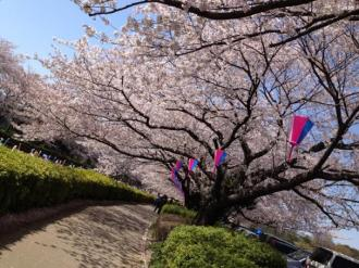 館林の桜⑬_convert_20140409000212