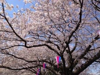 館林の桜⑭_convert_20140409000248
