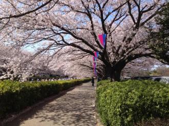 館林の桜⑮_convert_20140409000316