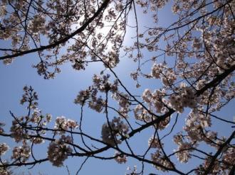 館林の桜⑯_convert_20140409000357