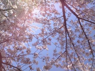 館林の桜⑱_convert_20140409000457