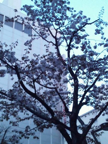 20140501用・桜?