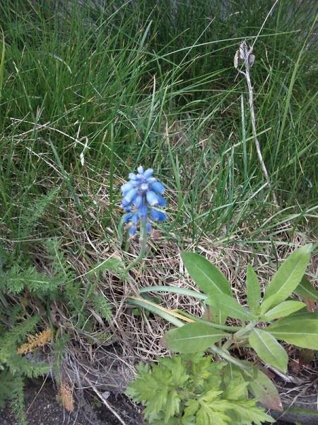20140523用・青い花1