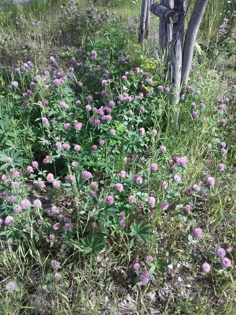 20140621用・ピンクの花