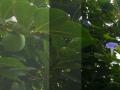 水滴と柿レベルな朝顔