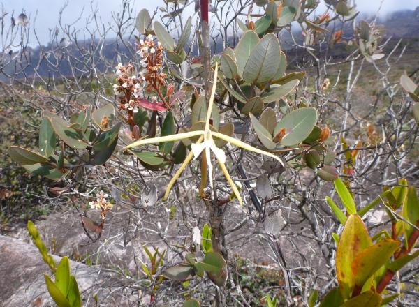 ラン科Epidendrum