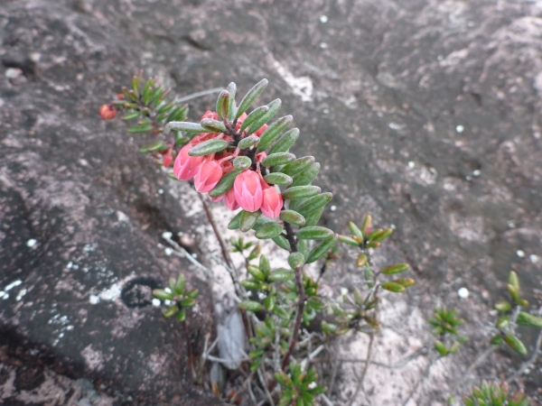 ツツジ科 Tepuia vareschii