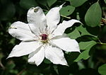 150px-Clematis_patens_in_Imo_Wetland_2011-05-14.jpg