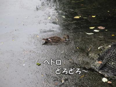 淀んだお池を泳ぐカモさん