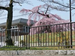 岡崎疎水 十石舟から眺めた疎水脇のしだれ桜
