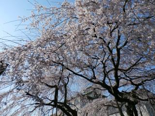 旧有栖川宮邸 醍醐の桜の子孫